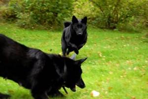 svart hunden