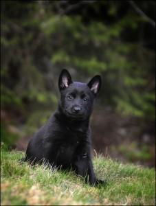 Svarthund kvalp