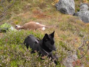 Ein fornøyd svarthund etter ein flott jaktdag i fjellet...