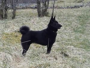Svarthundens Trixie